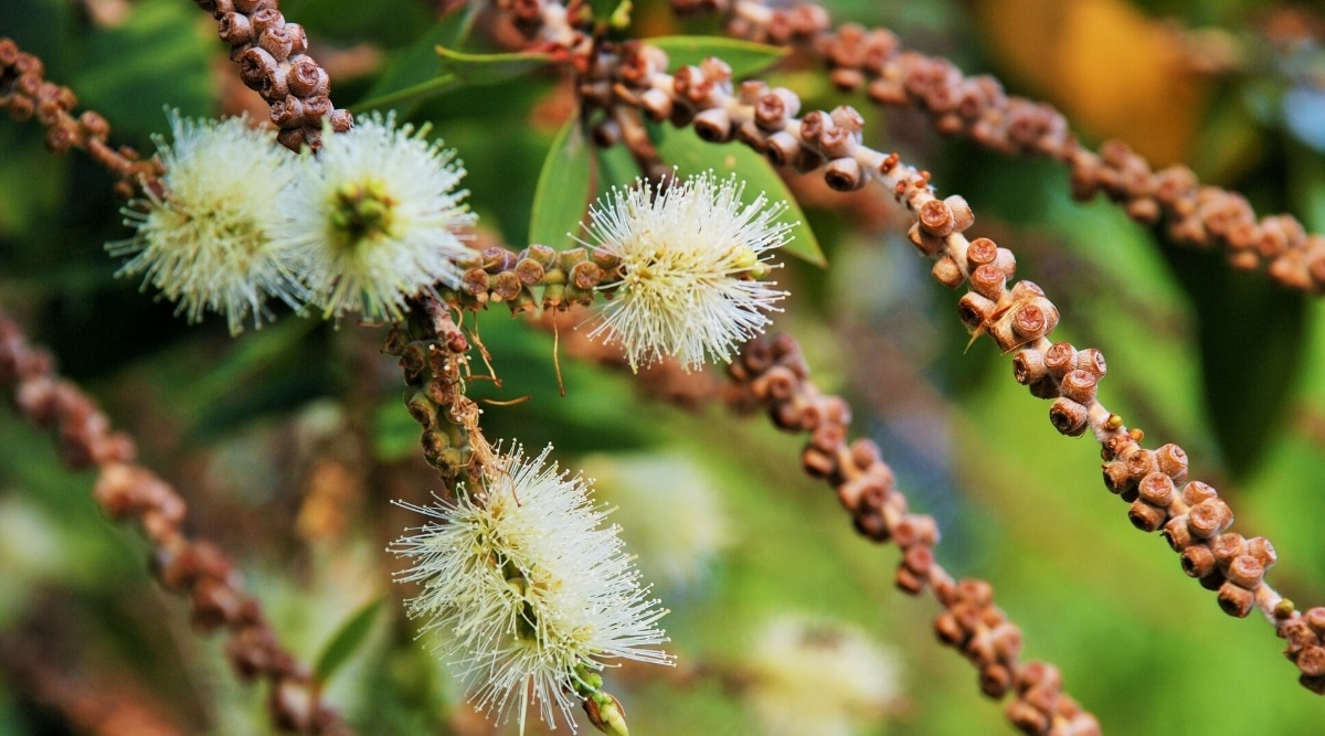Flowers and Seeds of the Paperbark Tree