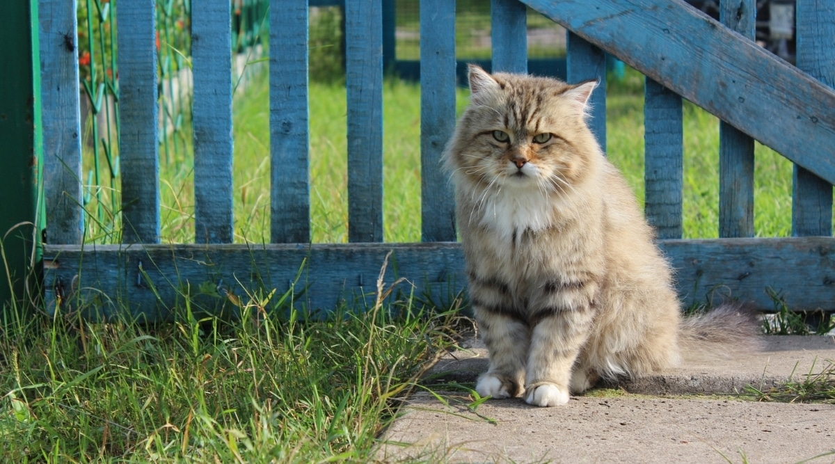 Fluffy Cat in Front of a Blue Fence