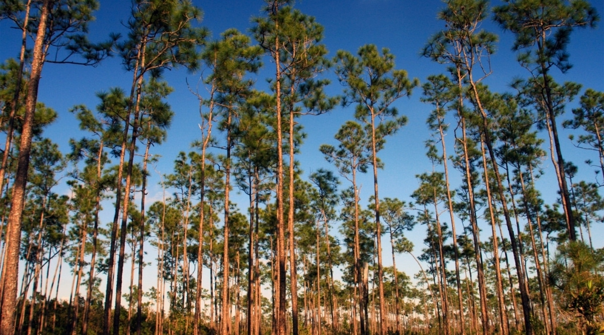 Forest of Slash Pine Trees