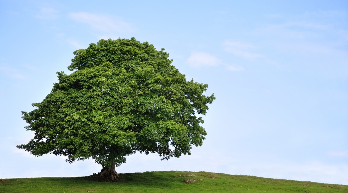 Fully-Grown Sycamore Tree Providing Shade in a Field