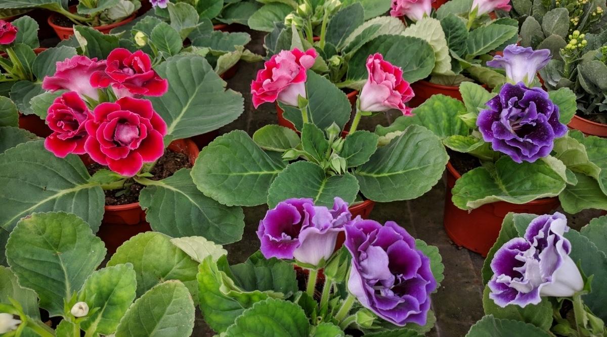 Gloxinia Flowering Plant