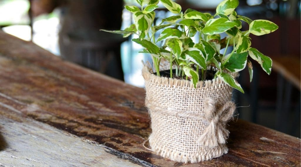 Golden Pothos on Table