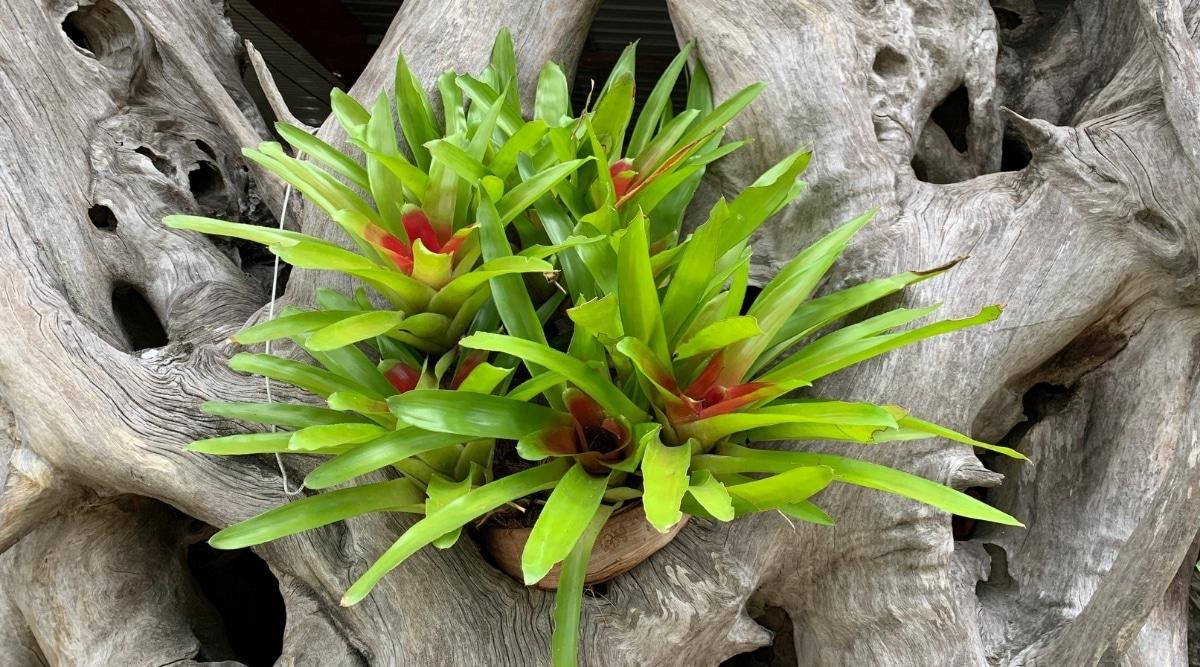 Green Aechmea Fasciata Growing on a Wooden Log