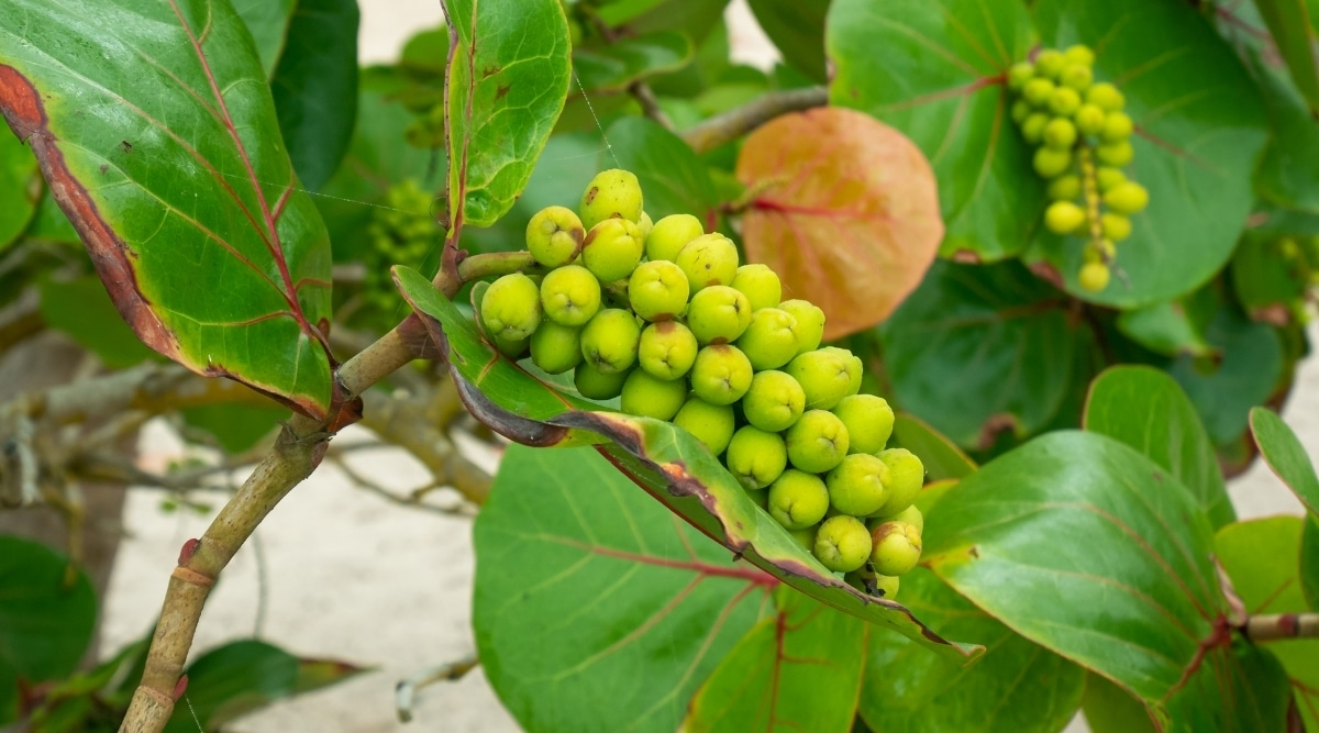 Green Fruits Growing on a Tree at the Beach