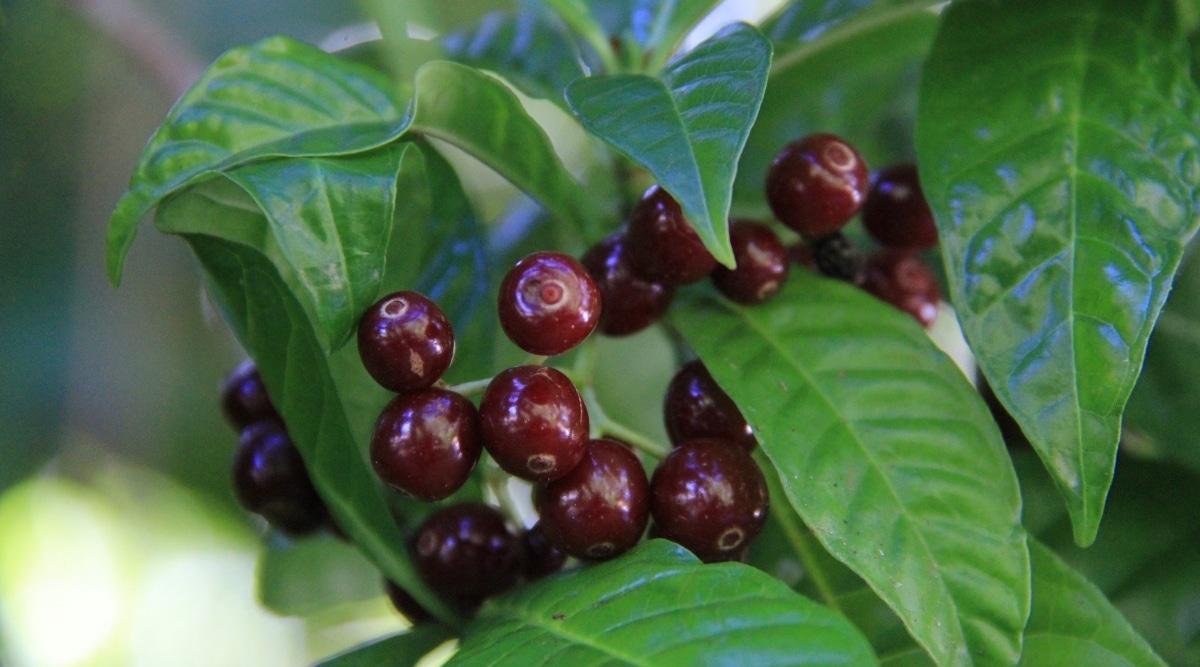 Green Shrub With Dark Red Berries