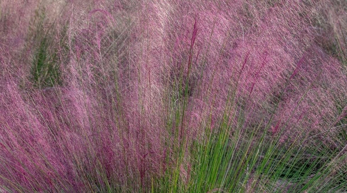 Green and Pink Tall Grass