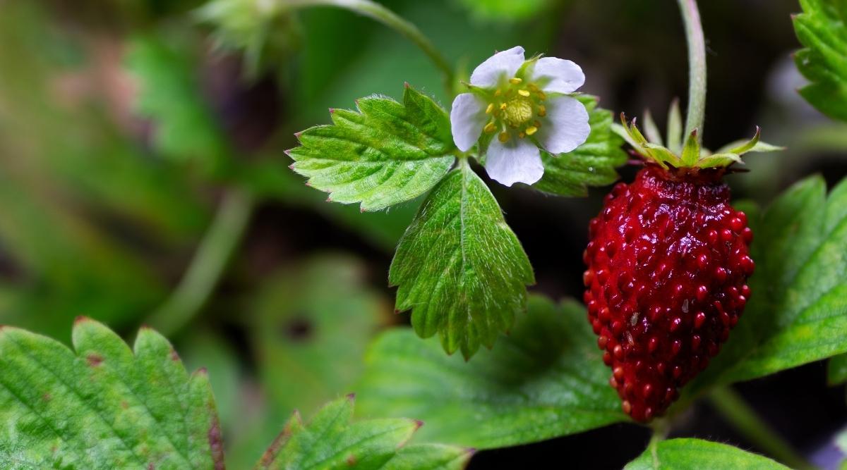 Groundcover Plant Alpine Strawberry