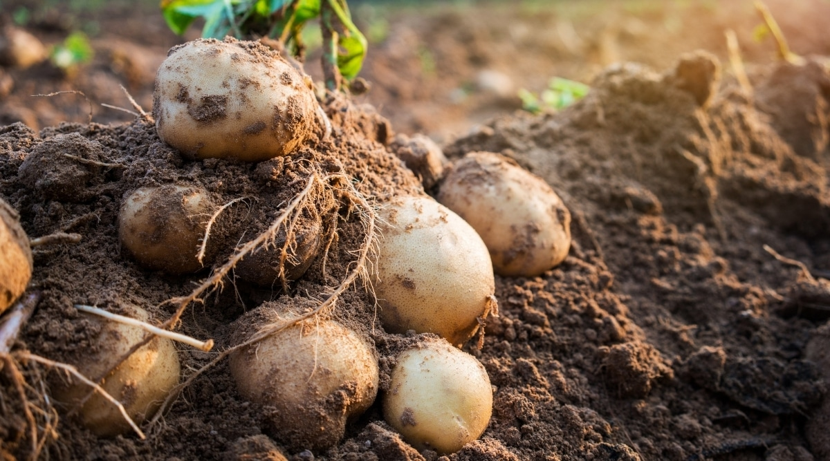 Harvested Potatoes in Garden