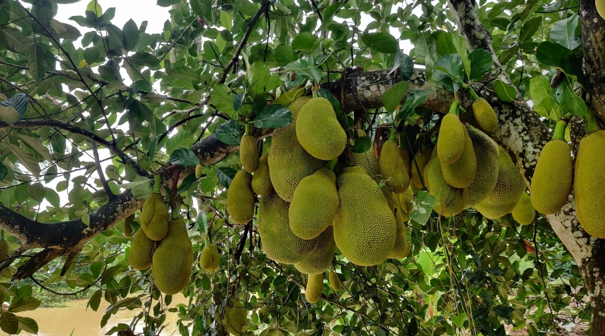 Healthy Large Green Fruit in a Tree