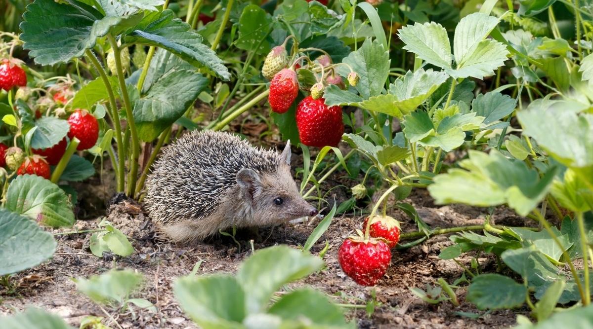 Hedgehog Near Strawberries