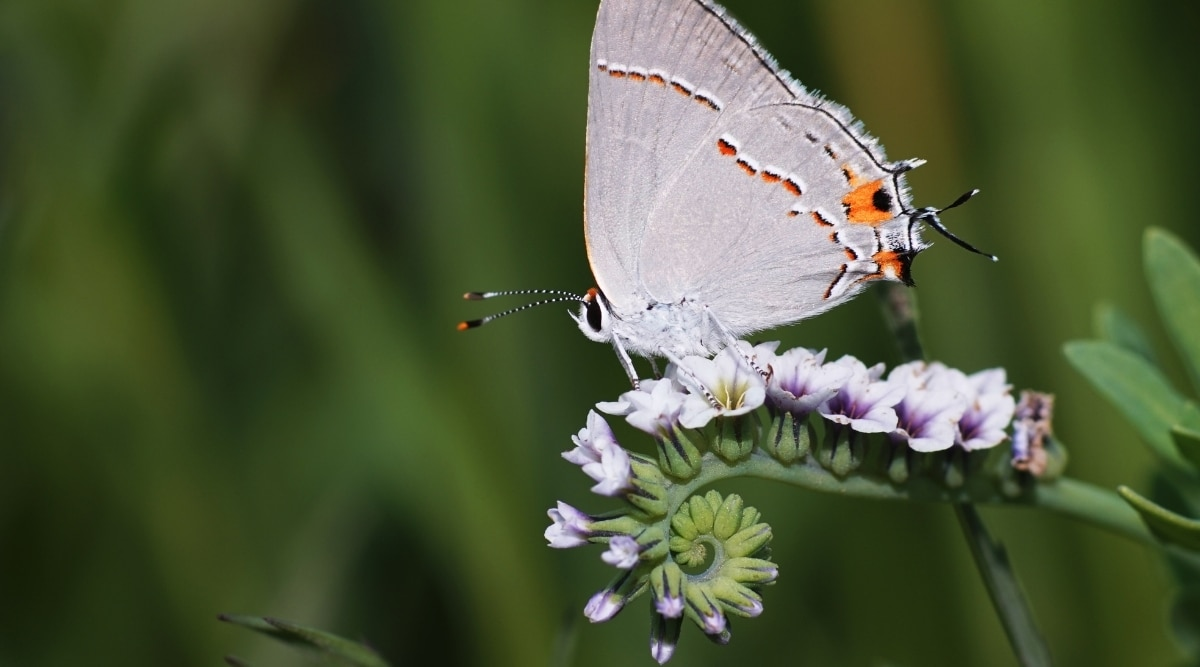 Heliotrope With Butterfly