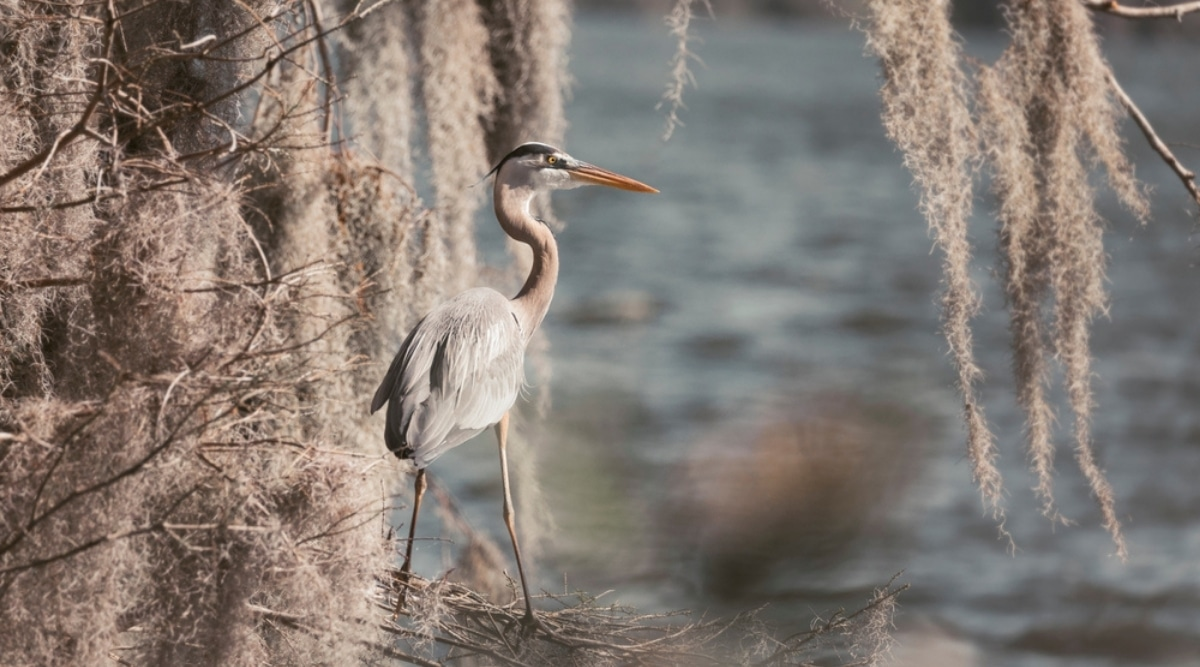 Heron Walking Near Water With Gray Plant Drooping Around It