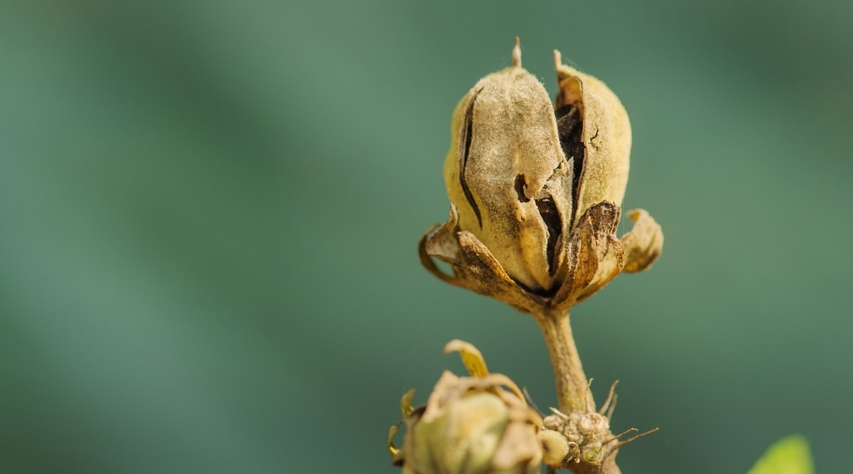 Hibiscus Seeds Dried