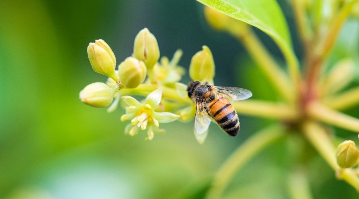 Honeybee Pollenating