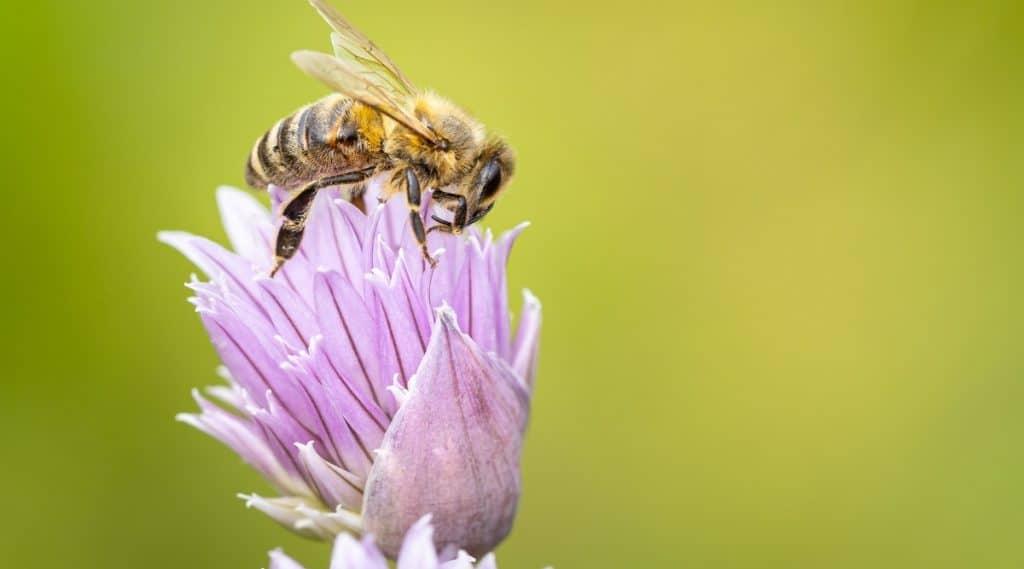 Honeybee in Garden