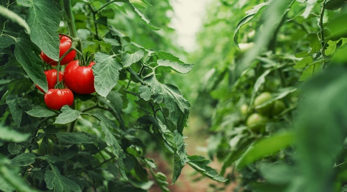 Horticulture Garden Tomatoes