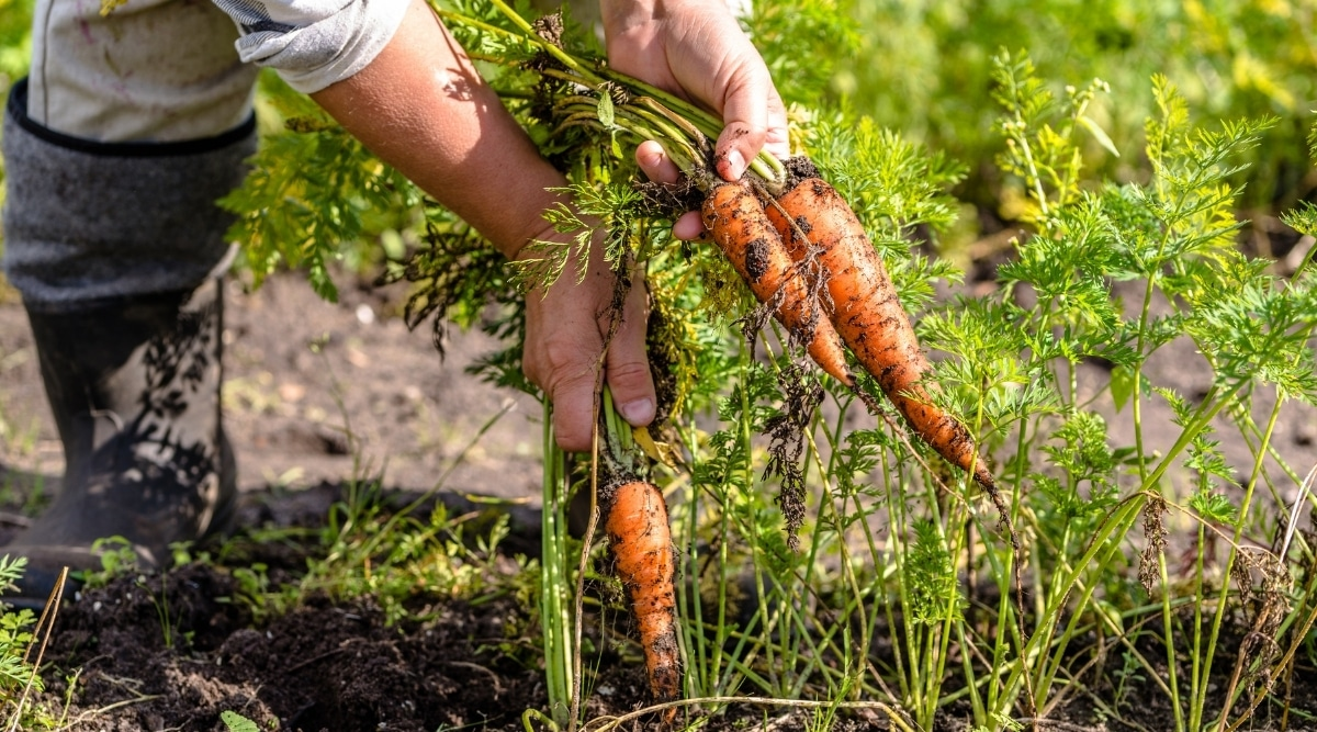 Horticulturist in the Garden Pulling Carrots