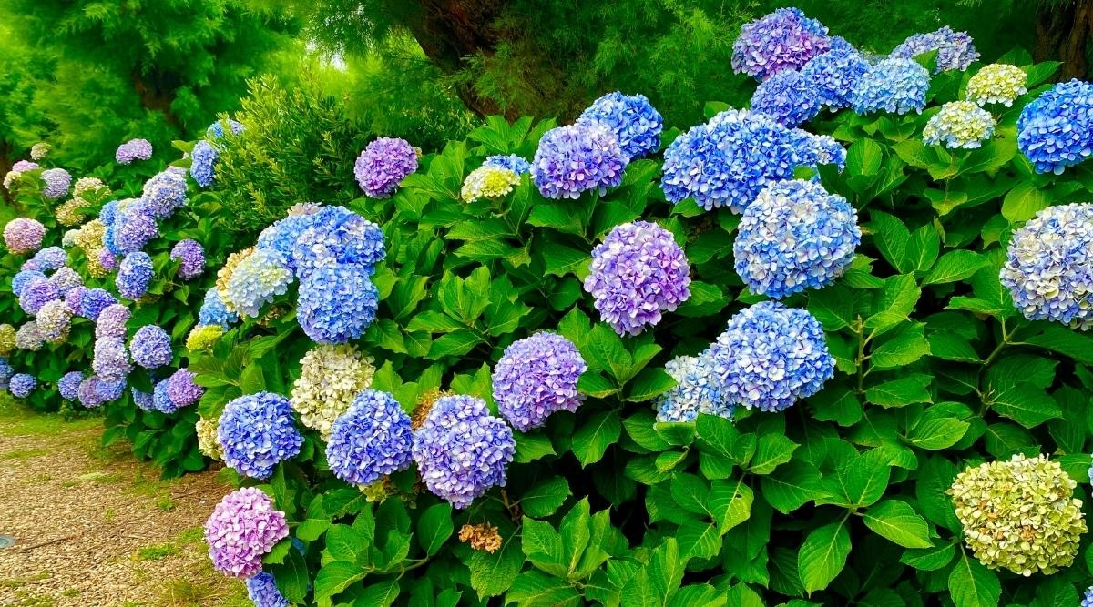 Hydrangea Bush With Blue and Purple Flowers
