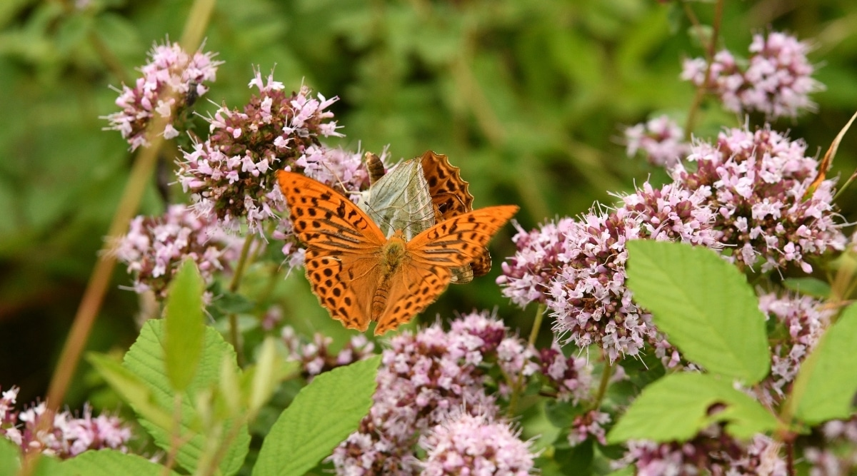 Insect With Orange Wings on Oregano Blooms