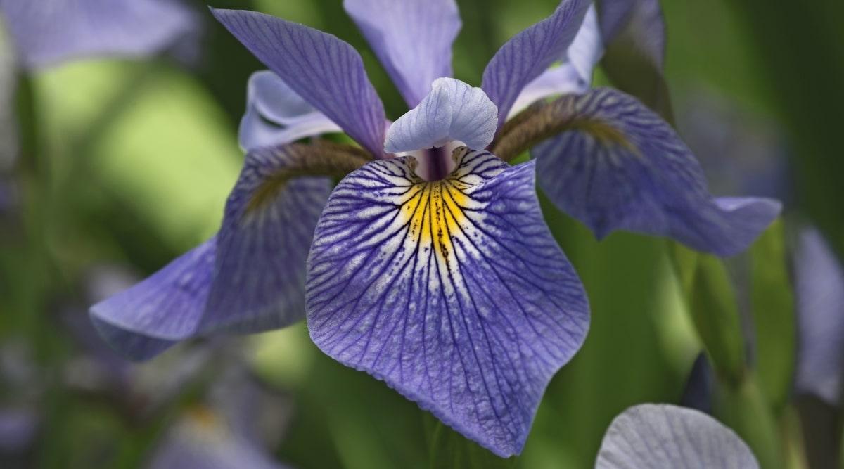 Iris Virginica Closeup
