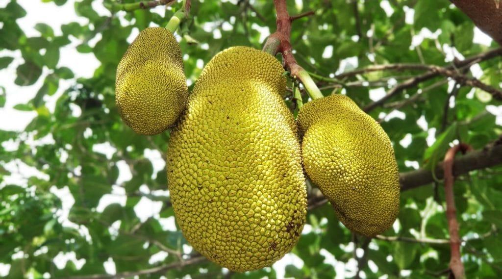 Jackfruit in Garden on Tree