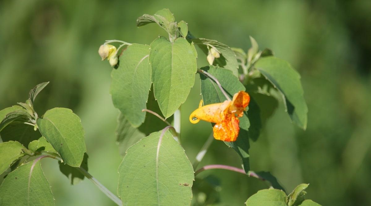 Jewelweed Plant With Orange Blossom