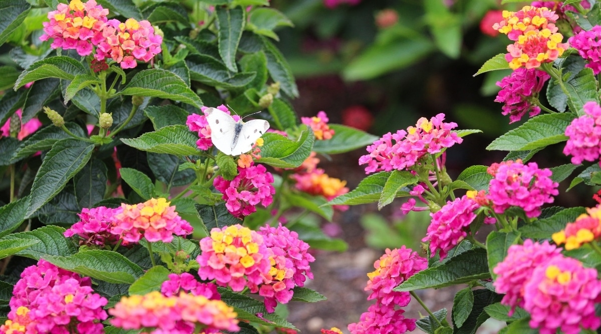 Lantana Attracting a White Butterfly