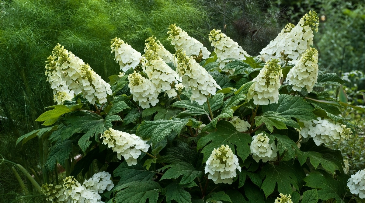 Large Bush With Cone Shaped White Flowers