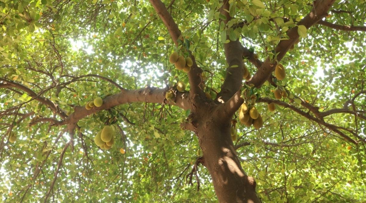 Large Jack Tree With Hanging Jackfruit