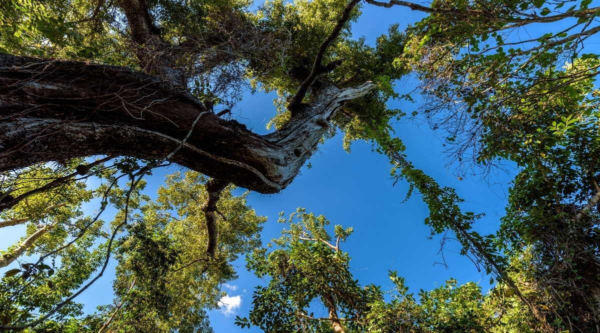 Large Mahogany in Florida Park
