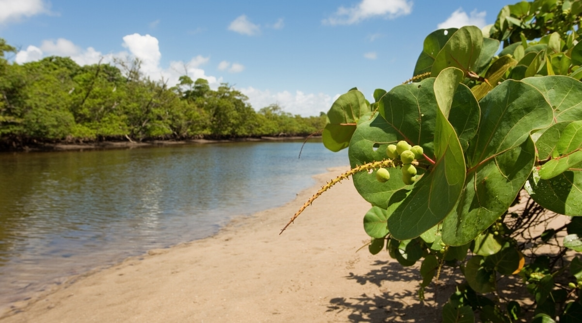 Large Plant Growing Near Water With Fruits Sprouting