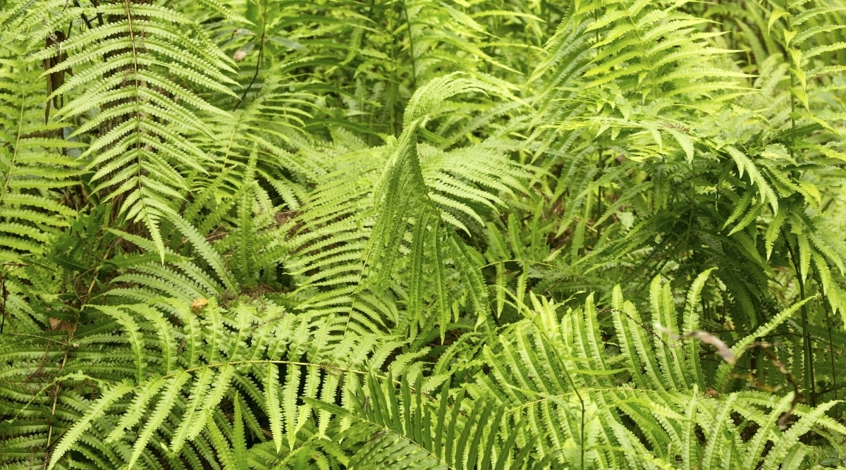 Large Plant With Slender Triangular Fronds