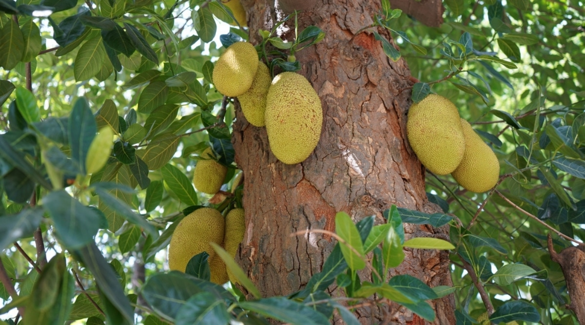 Large Tropical Tree With Fruit on a Sunny Day