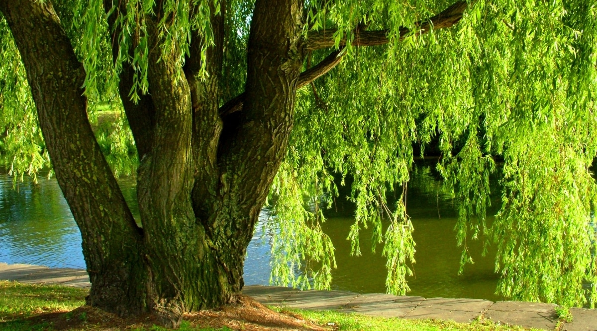 Large Weeping Willow Tree Growing Near Water