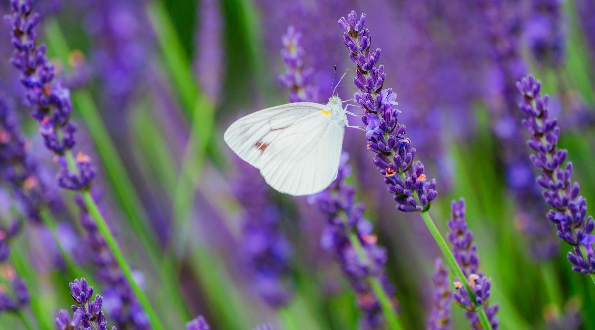 Lavender Flowers With White Butterfly