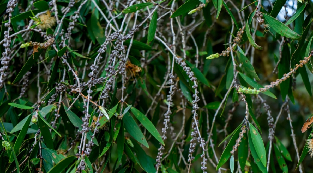 Leaves and Seeds of the Melaleuca Tree