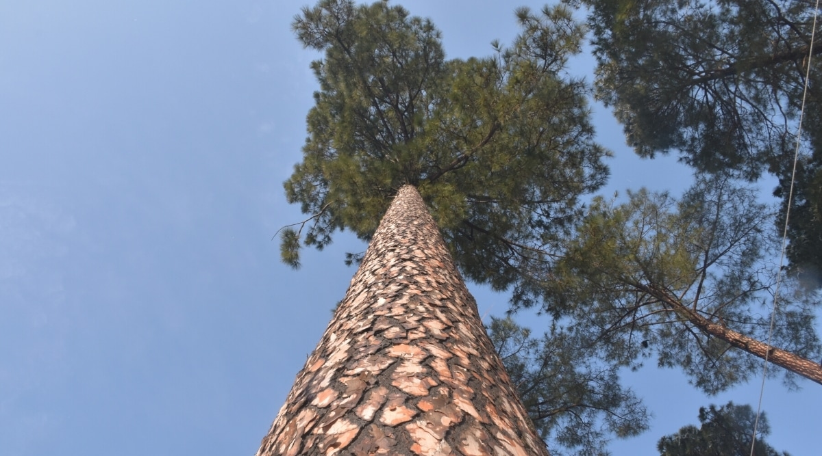 Looking Up at a Very Tall Pine Tree