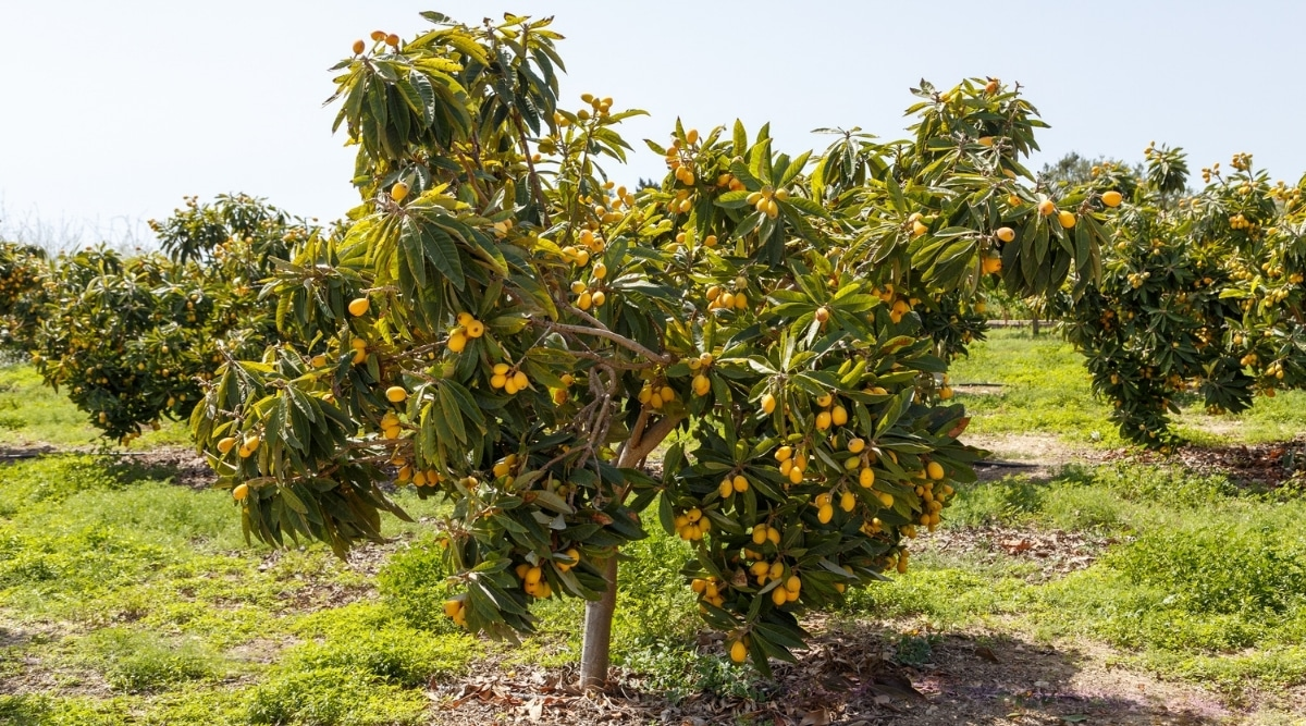 Loquat Tree With Fruit