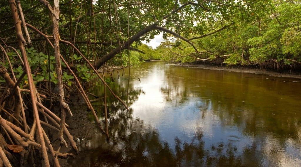Mangrove Trees on River