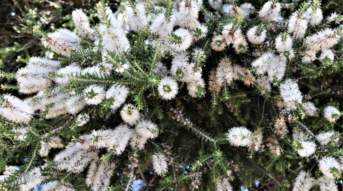 Melaleuca Quinquenervia Paperbark Flowers
