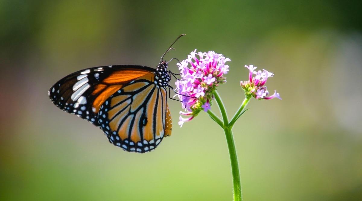 Monarch Butterfly on Flower in Garden