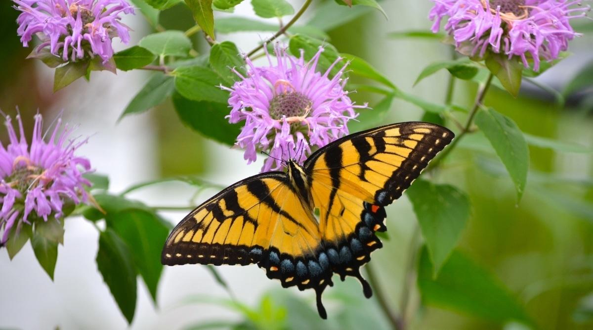 Monarch Landing on a Purple Bee Balm