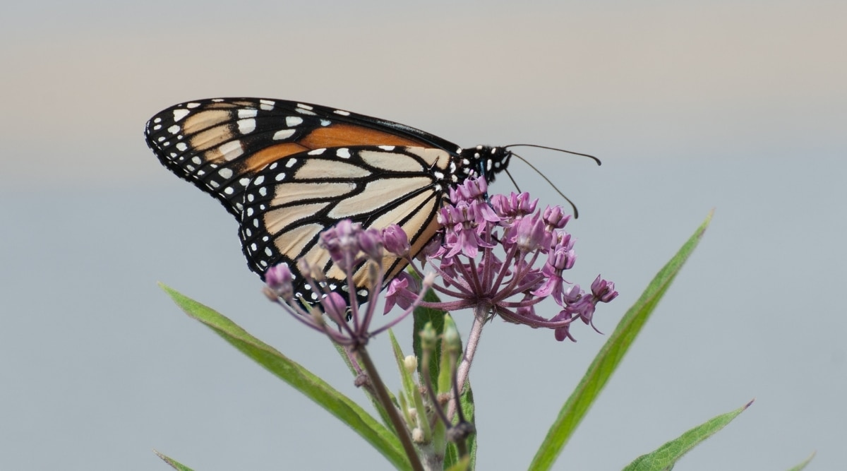 Monarch With Joe-Pye Weed
