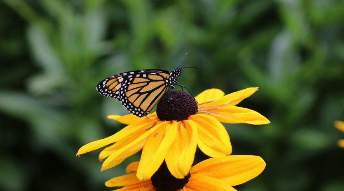 Monarch on Black-Eyed Susan Bloom