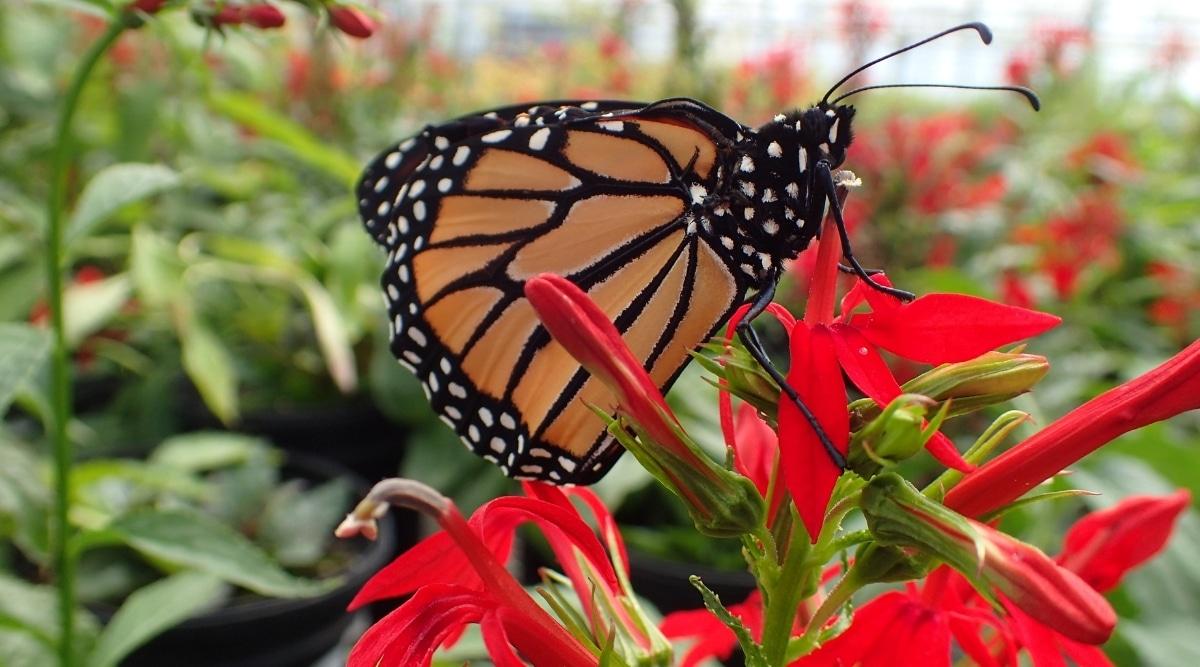 Monarch on Cardinal Flower