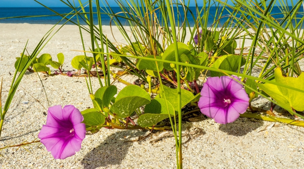 Morning Glory Flowers Growing on a Vine on a Beach