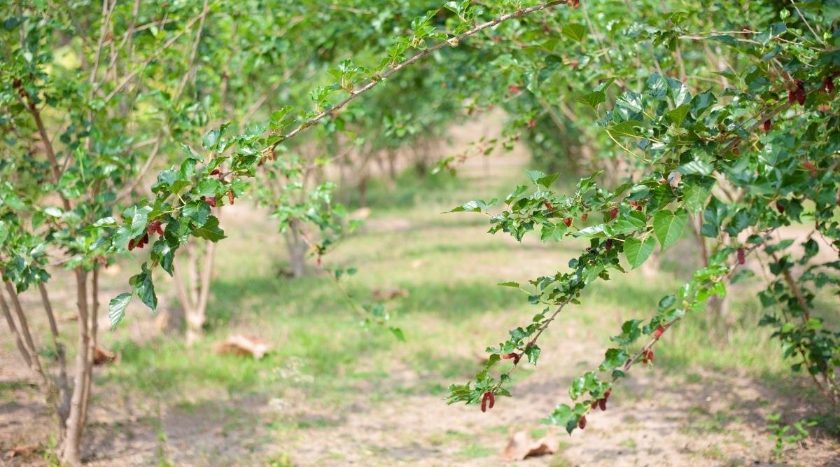 Mulberry Bush in a Grove