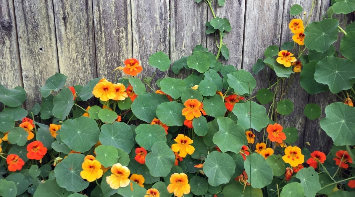 Nasturtium Groundcover Flowers