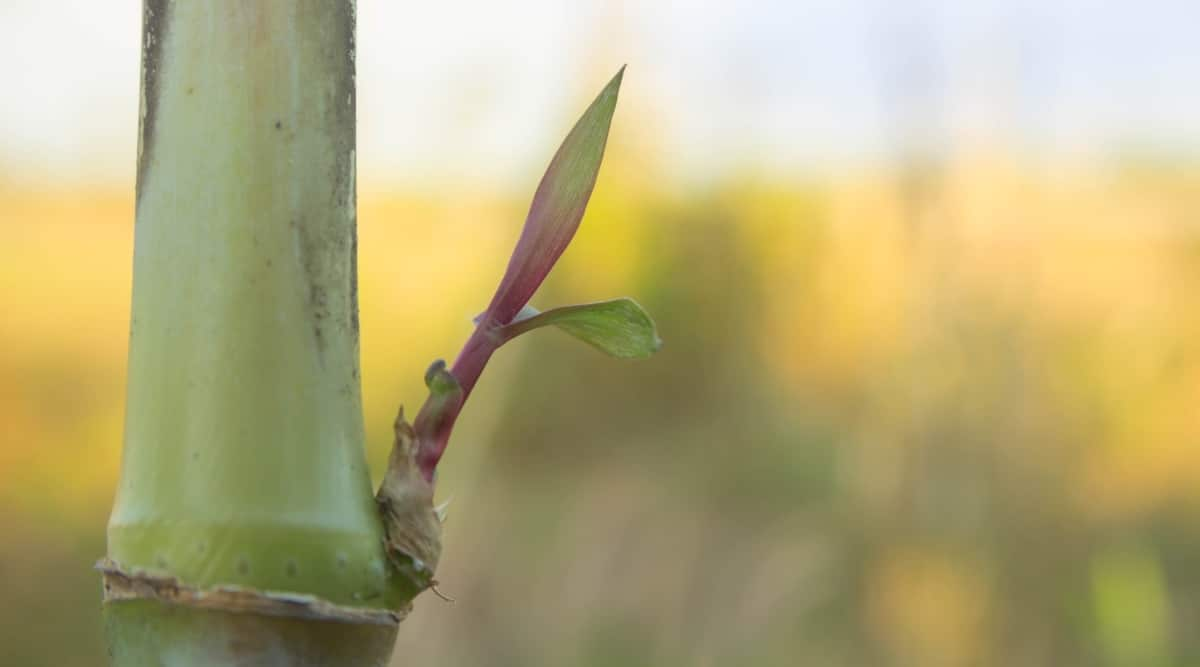 New Branch Growing on Stalk