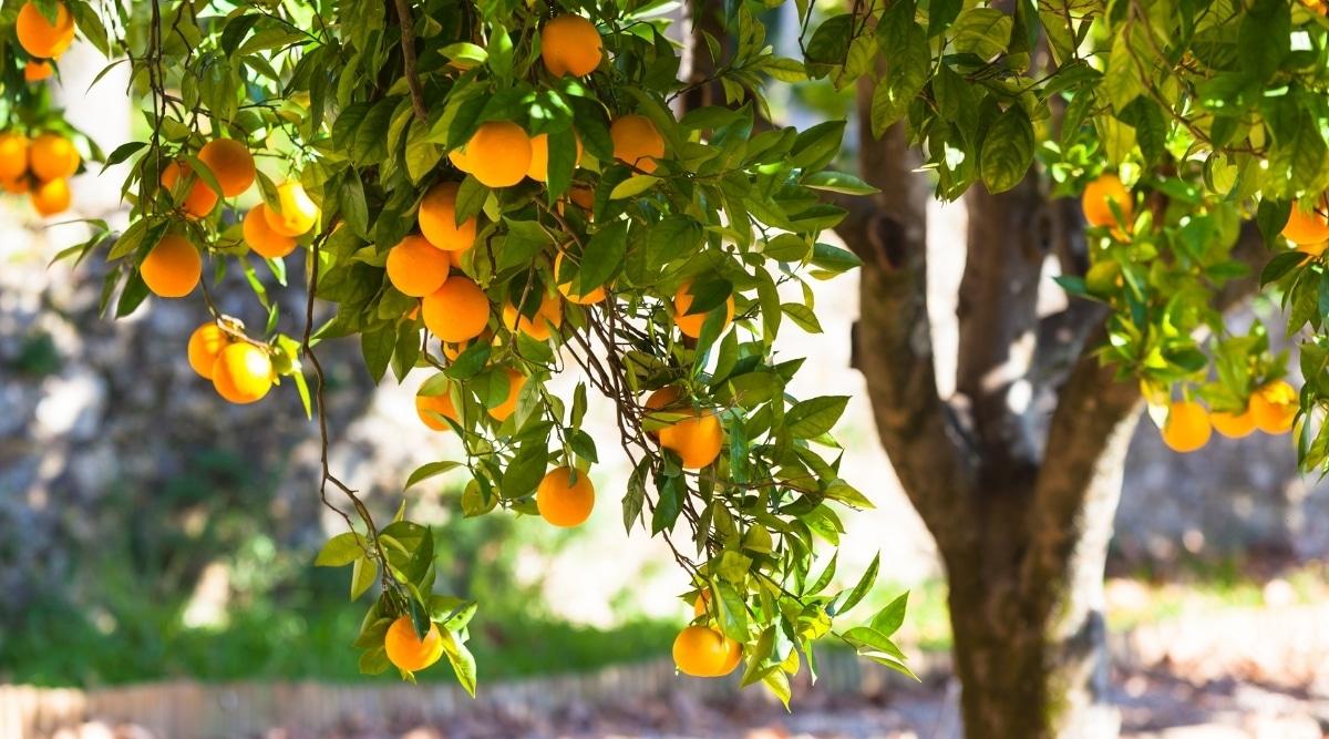 Orange Tree in Citrus Grove